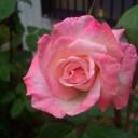 切り花用バラの天敵害虫マメコガネ!苦肉の対処法