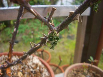 元枝の新芽