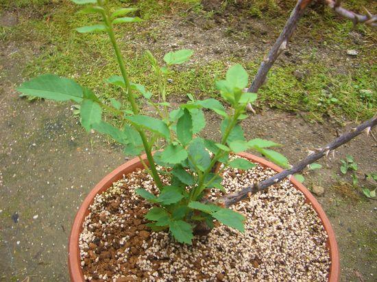枝枯病からの再生!ラムのつぶやきに新芽!