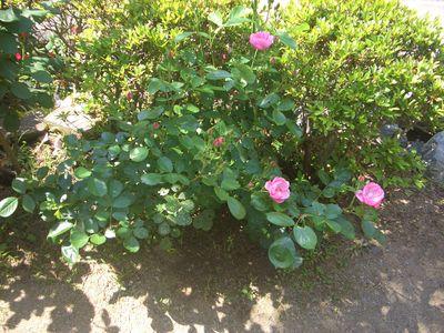 花が開花した5月のアンジェラ