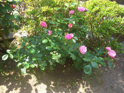 花が複数開花した5月のアンジェラ