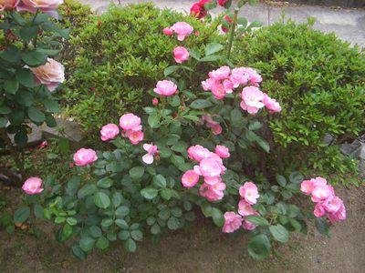 房咲きに咲くアンジェラ