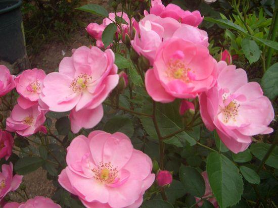 つるバラ、アンジェラの植え付けから花後の剪定等1年目の成長記録