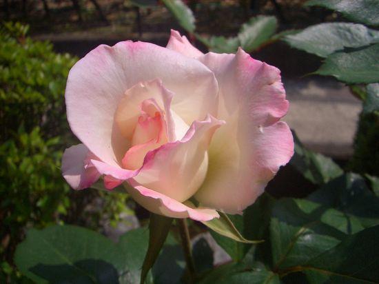 2019年のバラ1番花は地植えから鉢植えに植え替えたHT、夕霧でした