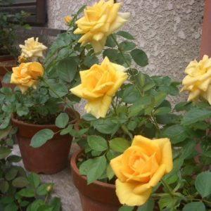 バラを育てたい方にお勧め!ミニバラを5倍楽しむ方法と育て方