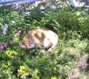 庭に咲くバラや花の周りを徘徊する野良猫を寄せ付けない方法