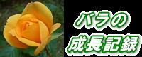 バラの成長記録